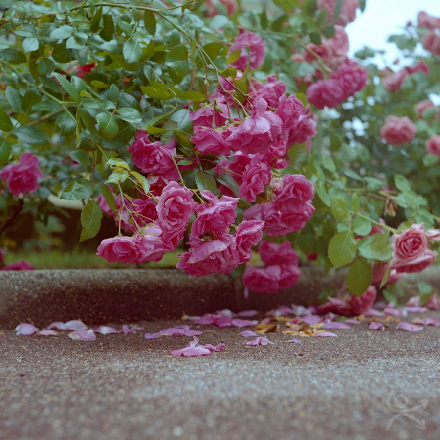 Roses en lamentation