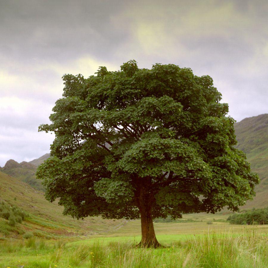 Le vénérable arbre